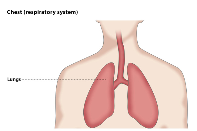 Chest (respiratory system)